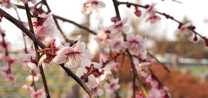 浄安寺 樹木葬(自然葬墓地)梅の花02