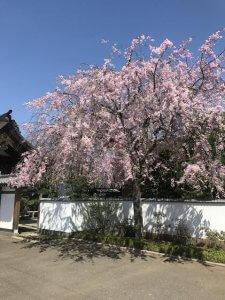 宝蔵院 桜