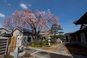 廣済寺 しだれ桜