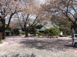 延命寺 桜