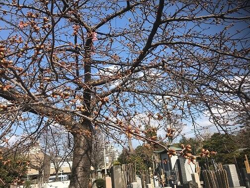 修行寺 桜