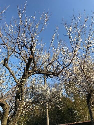 境内の梅の木