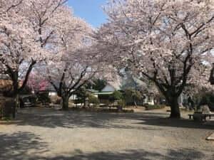延命寺 ソメイヨシノ