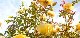 薔薇の香りに心躍る八千代散歩