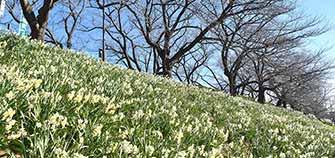 桜咲くシーズンに行きたい!!幸手市の広域公園で心安らぐ