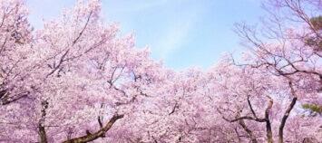NHK72時間「樹木葬 桜の木の下のあなたへ」で話題の樹木葬とは