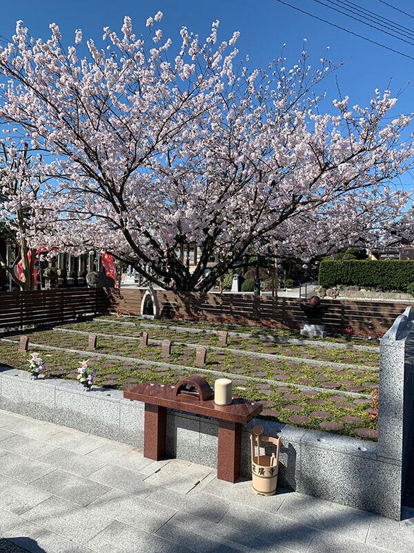 桜2020|深廣寺-埼玉県久喜市