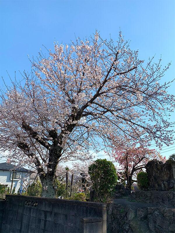 桜02 2020 用中寺-埼玉県杉戸町
