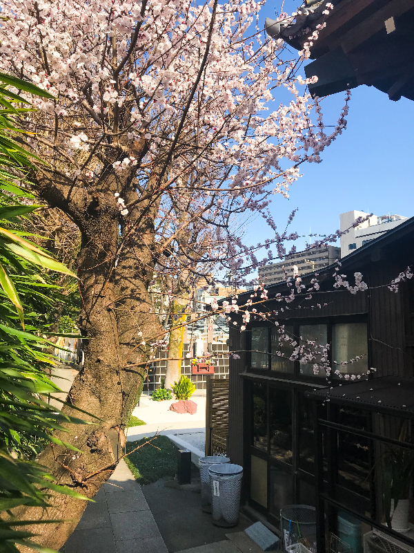 安樂寺 江戸彼岸桜
