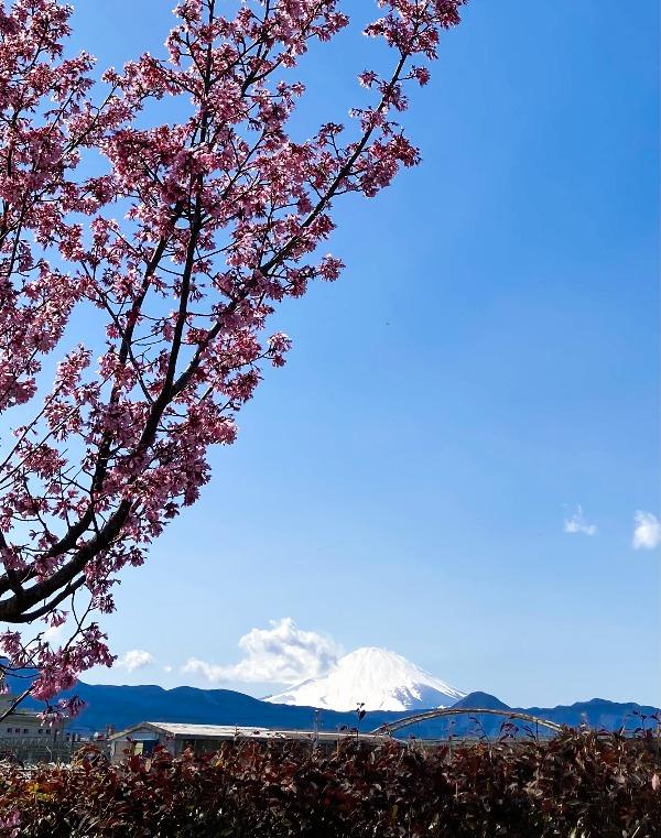 玉泉寺 桜と富士山