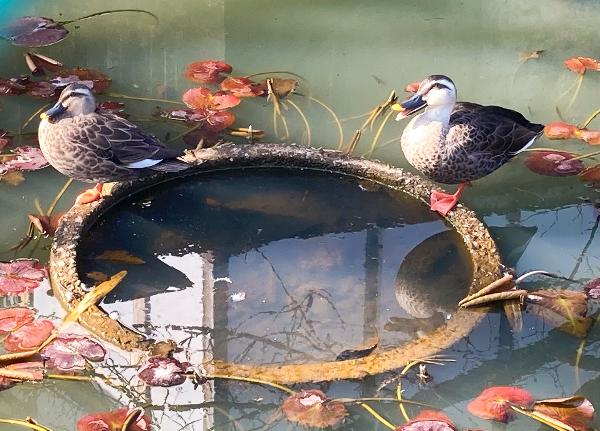妙正寺 境内の鴨