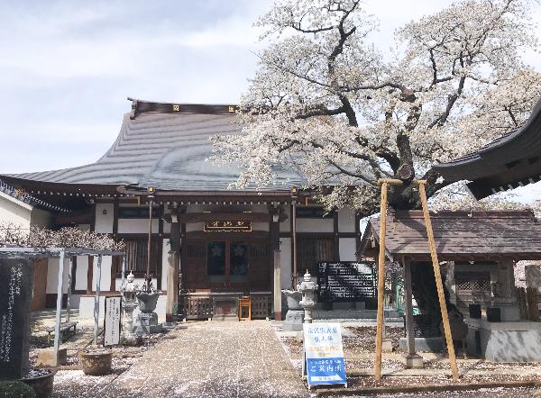 妙正寺 本堂前の桜