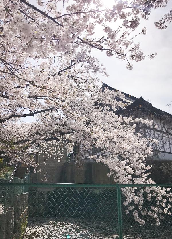 妙正寺 境内の桜