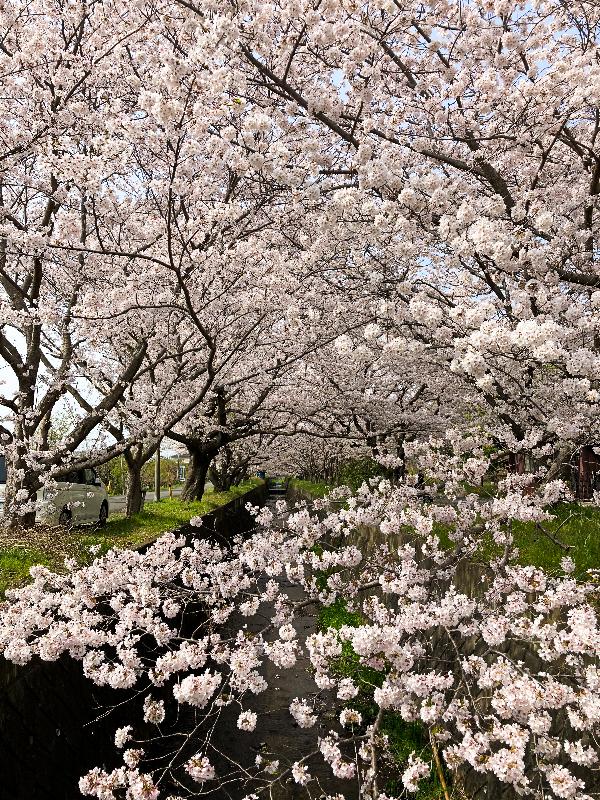 玉泉寺 桜並木